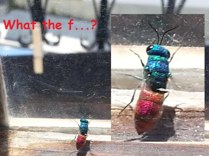 I Think I Found a Cuckoo Wasp