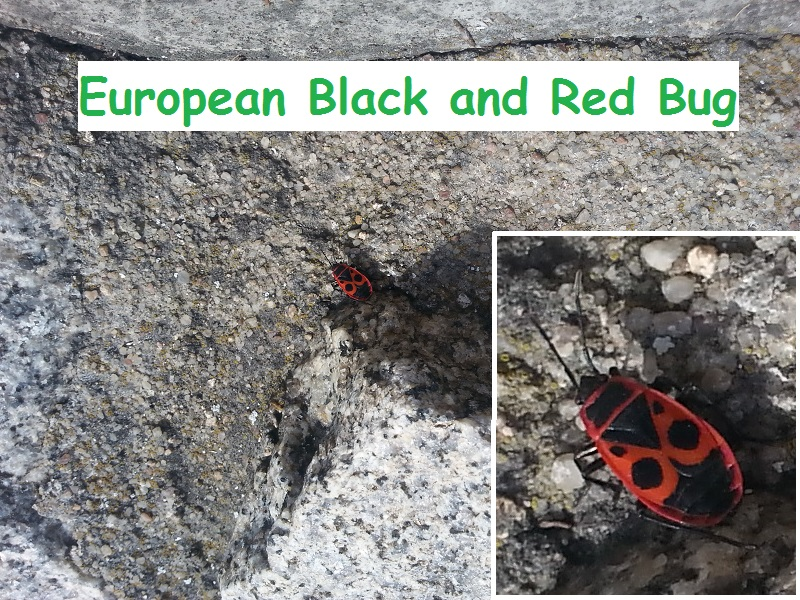 My First Encounter with a Black and Red Bug (In the Czech Republic)