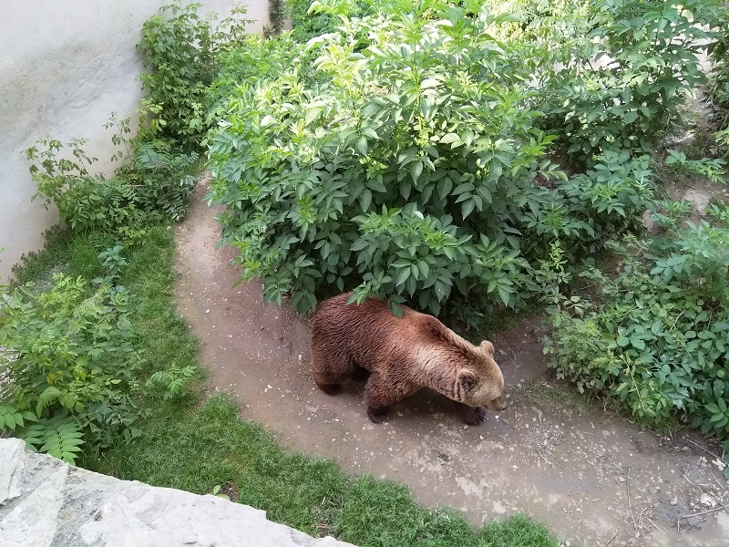 One of the Bears Doing Its Daily Rounds at Skopje Zoo